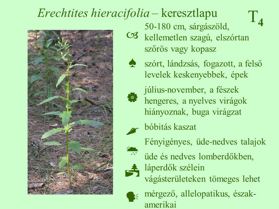 T4T4 Erechtites hieracifolia – keresztlapu 50-180 cm, sárgászöld, kellemetlen szagú, elszórtan szőrös vagy kopasz szórt, lándzsás, fogazott, a felső levelek keskenyebbek, épek július-november, a fészek hengeres, a nyelves virágok hiányoznak, buga virágzat bóbitás kaszat Fényigényes, üde-nedves talajok üde és nedves lomberdőkben, láperdők szélein vágásterületeken tömeges lehet mérgező, allelopatikus, észak- amerikai  ♠    