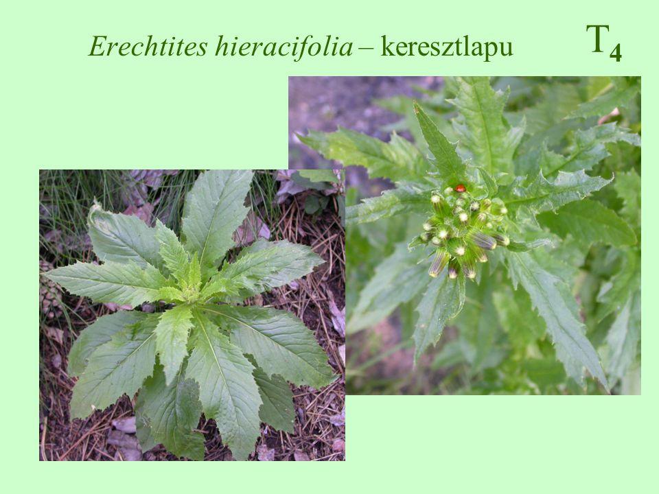 T4T4 Erechtites hieracifolia – keresztlapu