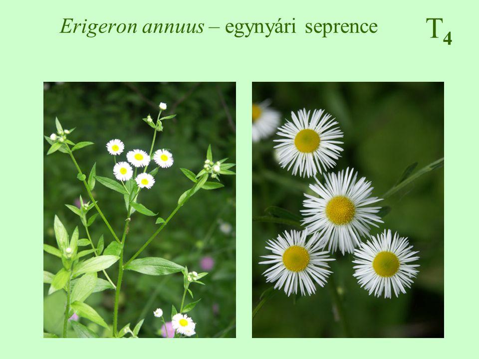 T4T4 Erigeron annuus – egynyári seprence