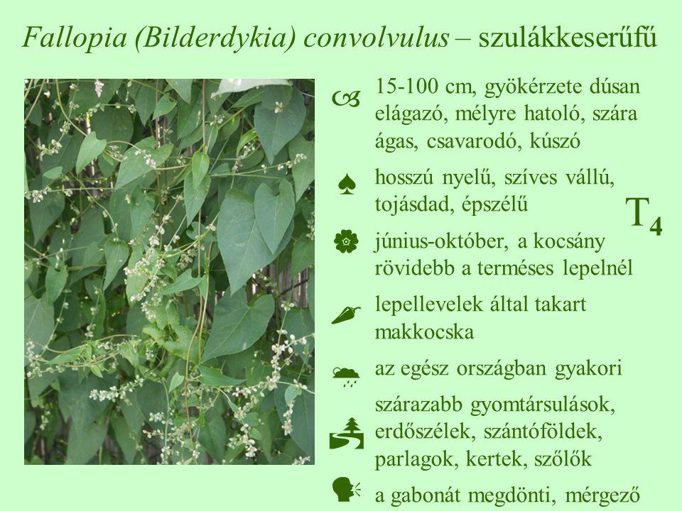 T4T4 Fallopia (Bilderdykia) convolvulus – szulákkeserűfű 15-100 cm, gyökérzete dúsan elágazó, mélyre hatoló, szára ágas, csavarodó, kúszó hosszú nyelű, szíves vállú, tojásdad, épszélű június-október, a kocsány rövidebb a terméses lepelnél lepellevelek által takart makkocska az egész országban gyakori szárazabb gyomtársulások, erdőszélek, szántóföldek, parlagok, kertek, szőlők a gabonát megdönti, mérgező  ♠    