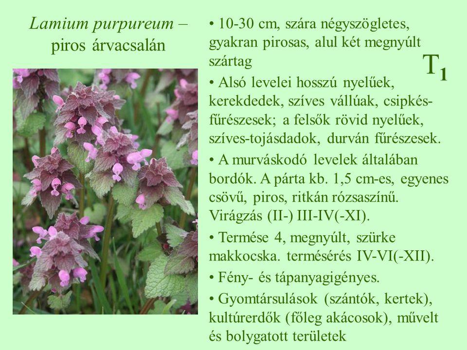 T1T1 Lamium purpureum – piros árvacsalán 10-30 cm, szára négyszögletes, gyakran pirosas, alul két megnyúlt szártag Alsó levelei hosszú nyelűek, kerekd