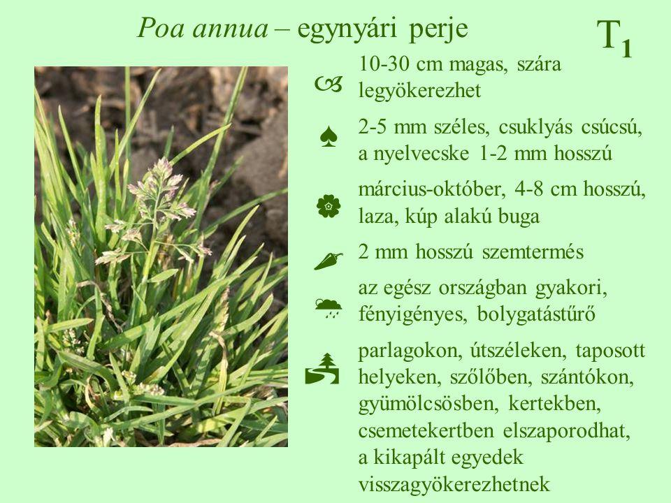 T1T1 Poa annua – egynyári perje 10-30 cm magas, szára legyökerezhet 2-5 mm széles, csuklyás csúcsú, a nyelvecske 1-2 mm hosszú március-október, 4-8 cm