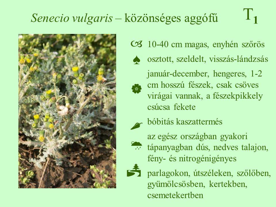 10-40 cm magas, enyhén szőrös osztott, szeldelt, visszás-lándzsás január-december, hengeres, 1-2 cm hosszú fészek, csak csöves virágai vannak, a fésze