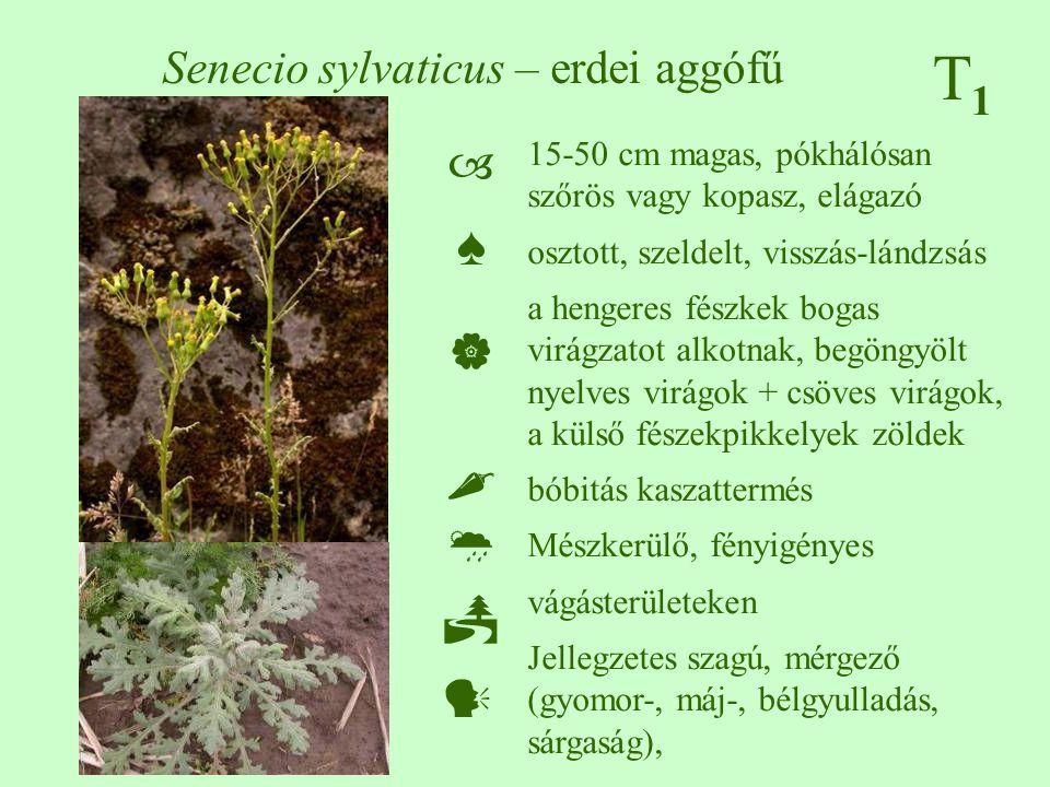T1T1 Senecio sylvaticus – erdei aggófű 15-50 cm magas, pókhálósan szőrös vagy kopasz, elágazó osztott, szeldelt, visszás-lándzsás a hengeres fészkek b