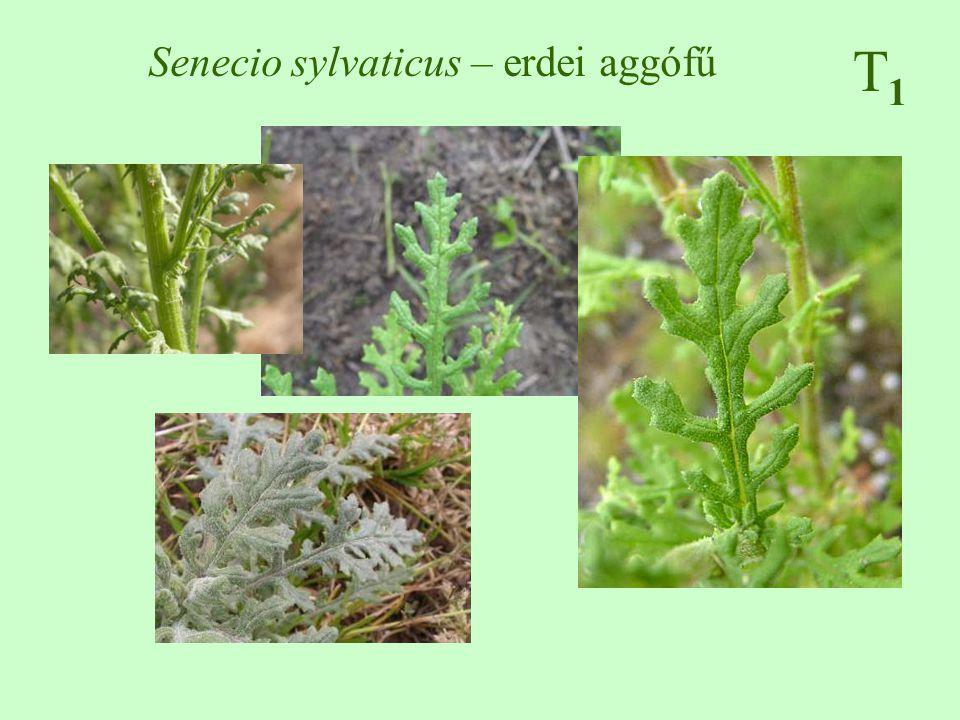 Senecio sylvaticus – erdei aggófű T1T1