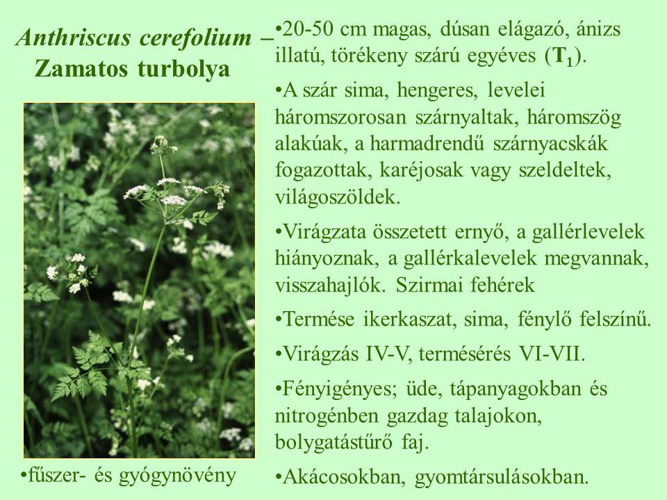 10-40 cm magas, enyhén szőrös osztott, szeldelt, visszás-lándzsás január-december, hengeres, 1-2 cm hosszú fészek, csak csöves virágai vannak, a fészekpikkely csúcsa fekete bóbitás kaszattermés az egész országban gyakori tápanyagban dús, nedves talajon, fény- és nitrogénigényes parlagokon, útszéleken, szőlőben, gyümölcsösben, kertekben, csemetekertben T1T1 Senecio vulgaris – közönséges aggófű ♠♠