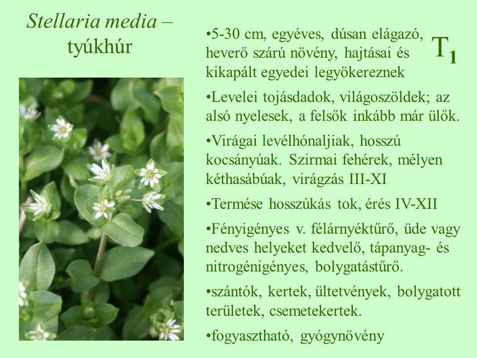 5-30 cm, egyéves, dúsan elágazó, heverő szárú növény, hajtásai és kikapált egyedei legyökereznek Levelei tojásdadok, világoszöldek; az alsó nyelesek,