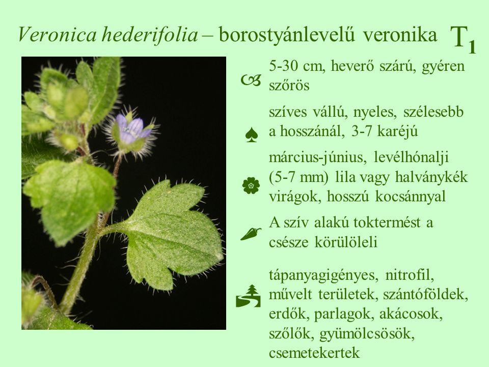 T1T1 Veronica hederifolia – borostyánlevelű veronika 5-30 cm, heverő szárú, gyéren szőrös szíves vállú, nyeles, szélesebb a hosszánál, 3-7 karéjú márc