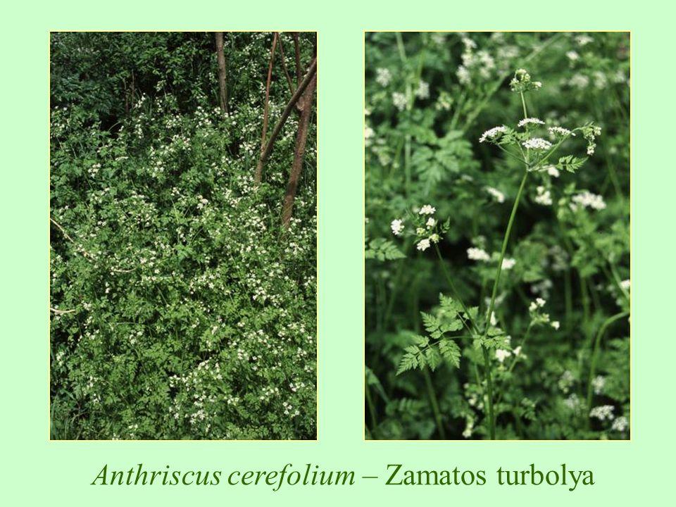 Brassica x napus – olajrepce, káposztarepce
