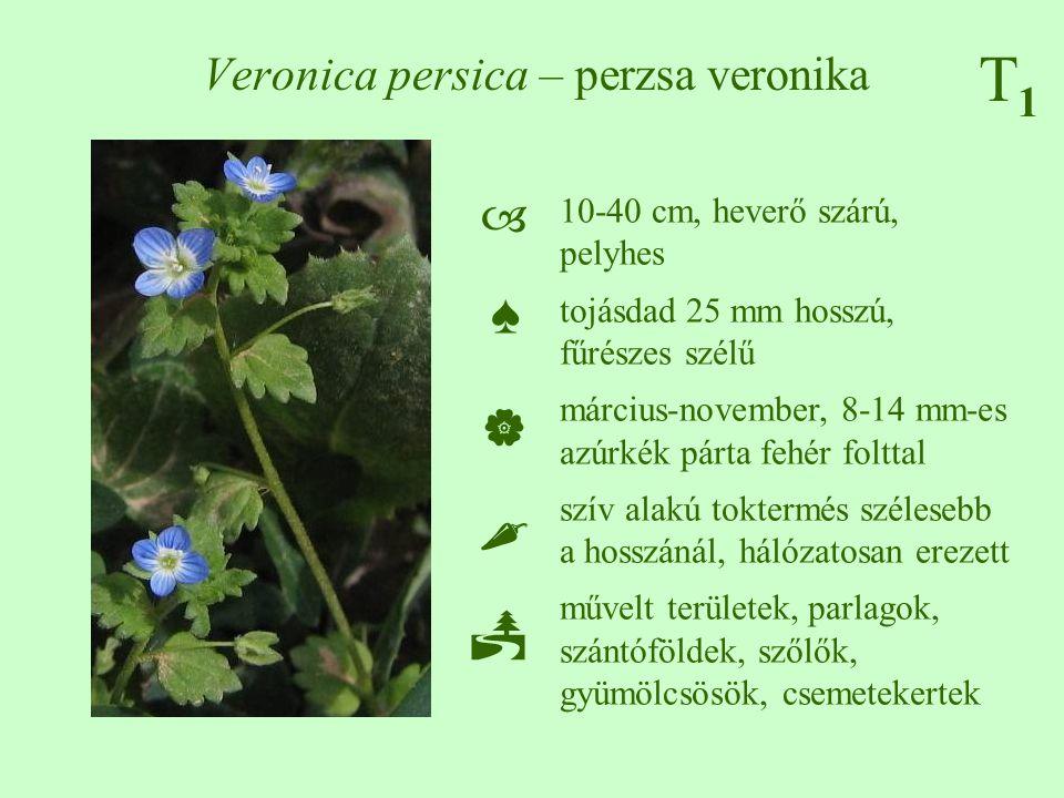 T1T1 Veronica persica – perzsa veronika ♠♠ 10-40 cm, heverő szárú, pelyhes tojásdad 25 mm hosszú, fűrészes szélű március-november, 8-14 mm-es