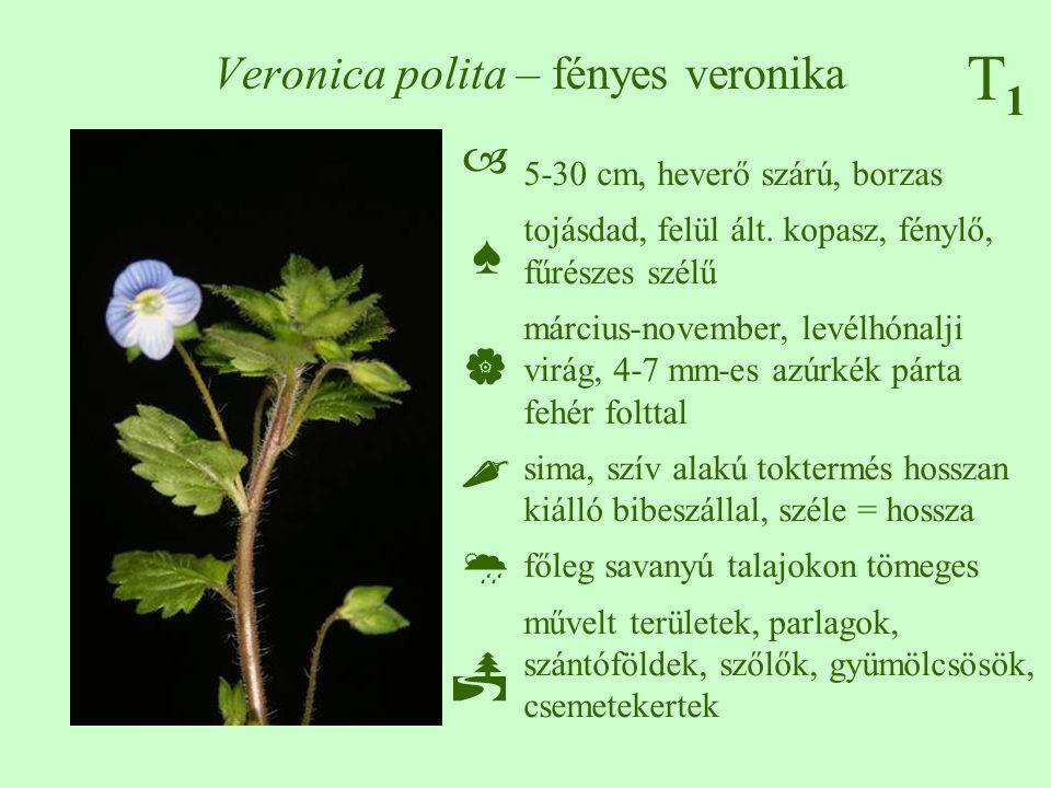 T1T1 Veronica polita – fényes veronika 5-30 cm, heverő szárú, borzas tojásdad, felül ált. kopasz, fénylő, fűrészes szélű március-november, levélhónalj