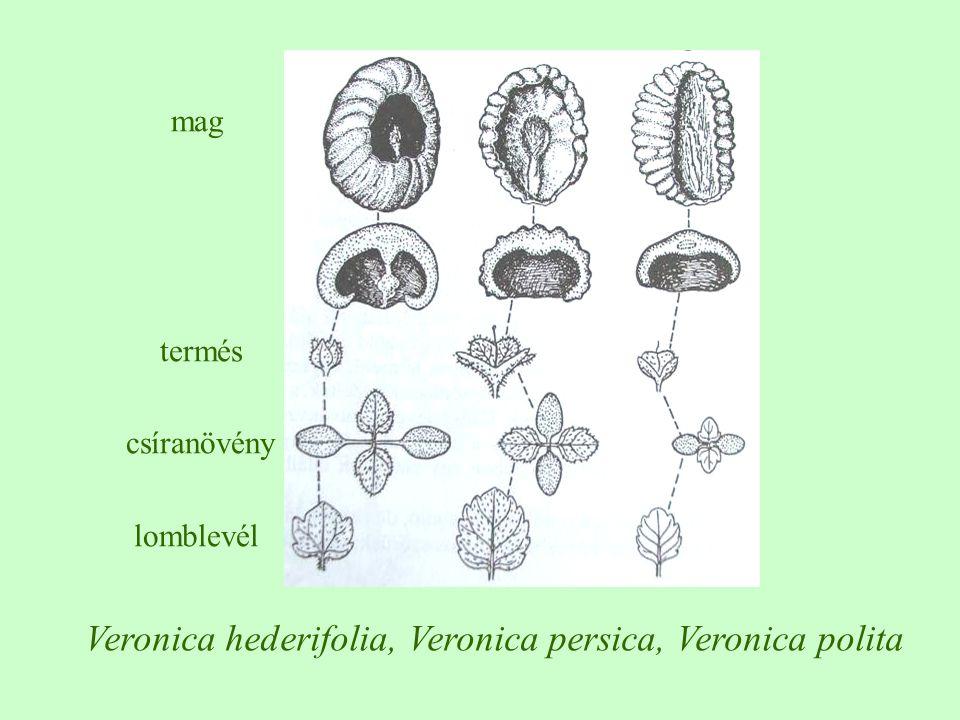 Veronica hederifolia, Veronica persica, Veronica polita mag termés csíranövény lomblevél