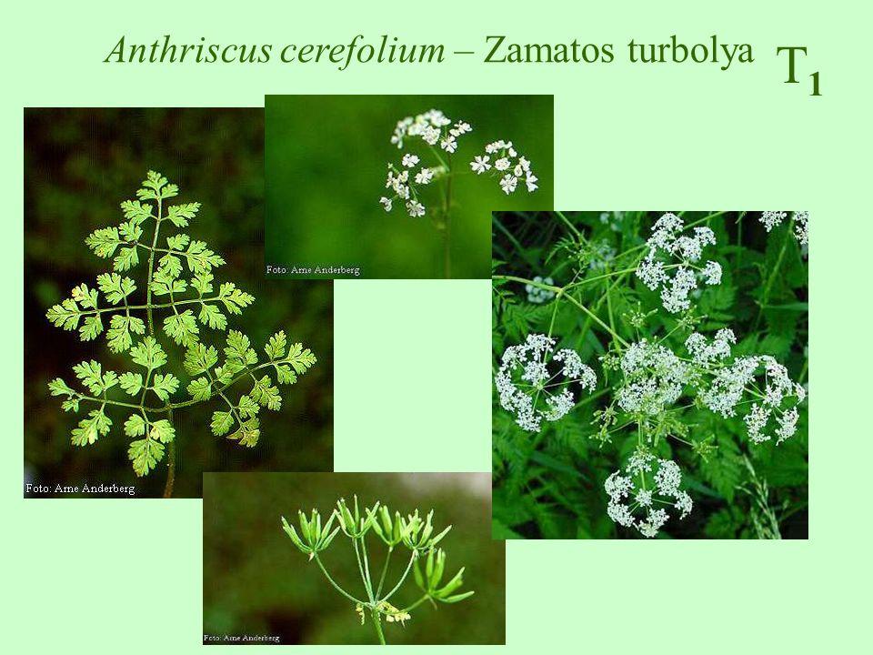 T1T1 Lamium purpureum – piros árvacsalán 10-30 cm, szára négyszögletes, gyakran pirosas, alul két megnyúlt szártag Alsó levelei hosszú nyelűek, kerekdedek, szíves vállúak, csipkés- fűrészesek; a felsők rövid nyelűek, szíves-tojásdadok, durván fűrészesek.