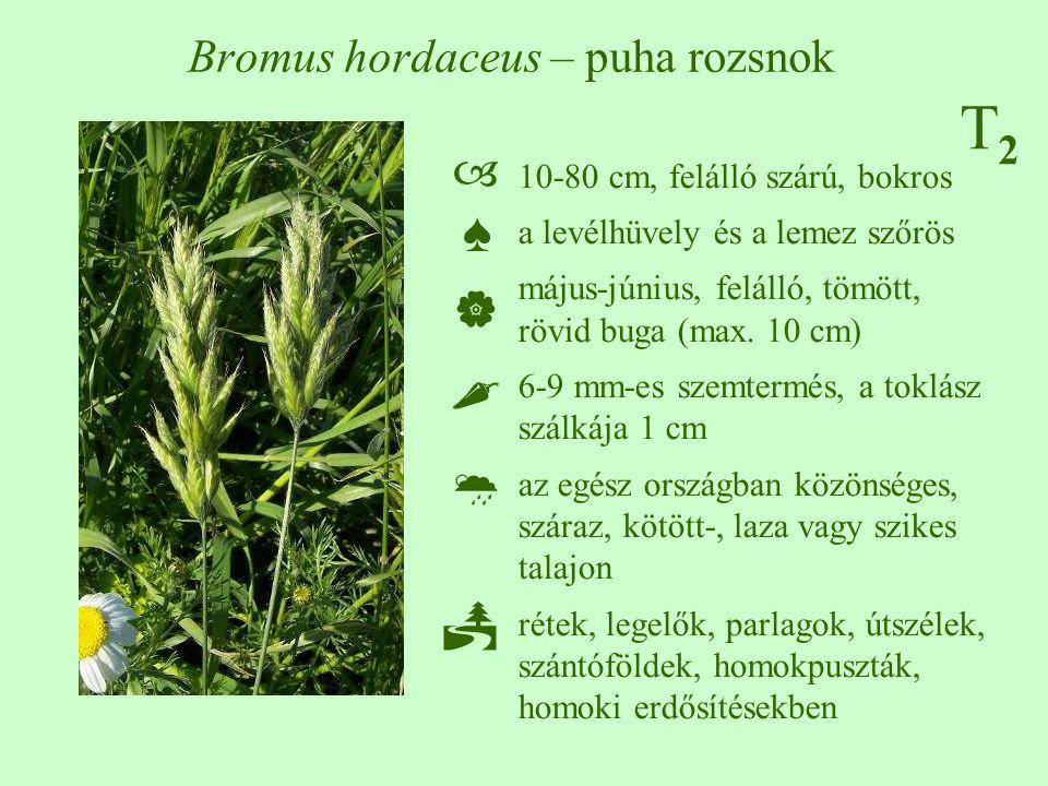 T2T2 Bromus hordaceus – puha rozsnok 10-80 cm, felálló szárú, bokros a levélhüvely és a lemez szőrös május-június, felálló, tömött, rövid buga (max. 1