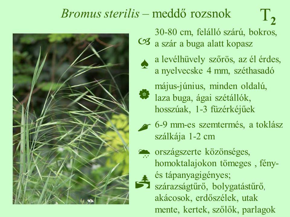 T2T2 Bromus sterilis – meddő rozsnok 30-80 cm, felálló szárú, bokros, a szár a buga alatt kopasz a levélhüvely szőrös, az él érdes, a nyelvecske 4 mm,