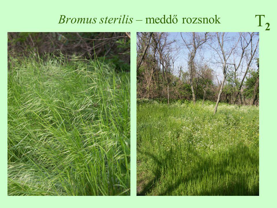 T2T2 Bromus sterilis – meddő rozsnok
