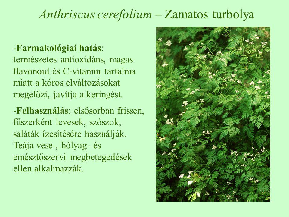 Erdei turbolya – Anthriscus sylvestris Zamatos turbolya – Anthriscus cerefolium