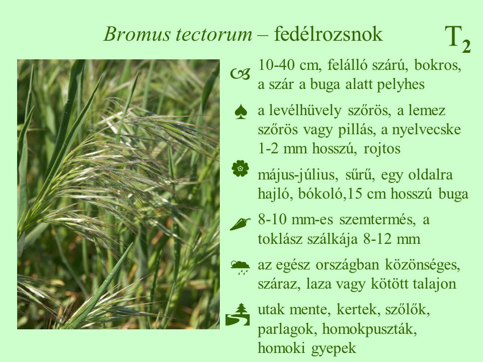 T2T2 Bromus tectorum – fedélrozsnok 10-40 cm, felálló szárú, bokros, a szár a buga alatt pelyhes a levélhüvely szőrös, a lemez szőrös vagy pillás, a n
