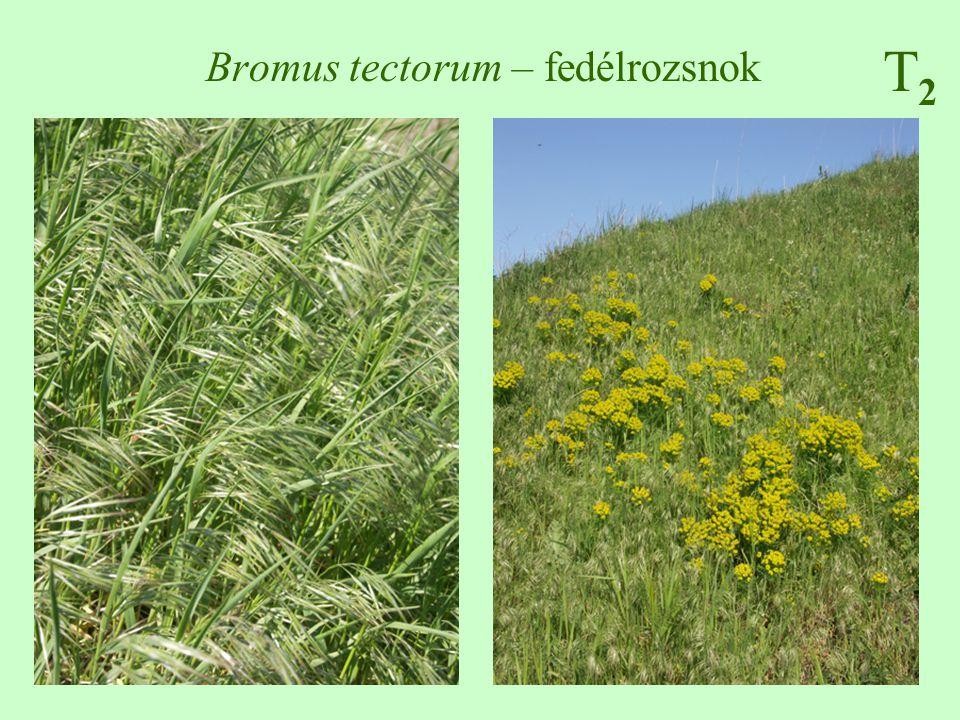 T2T2 Bromus tectorum – fedélrozsnok