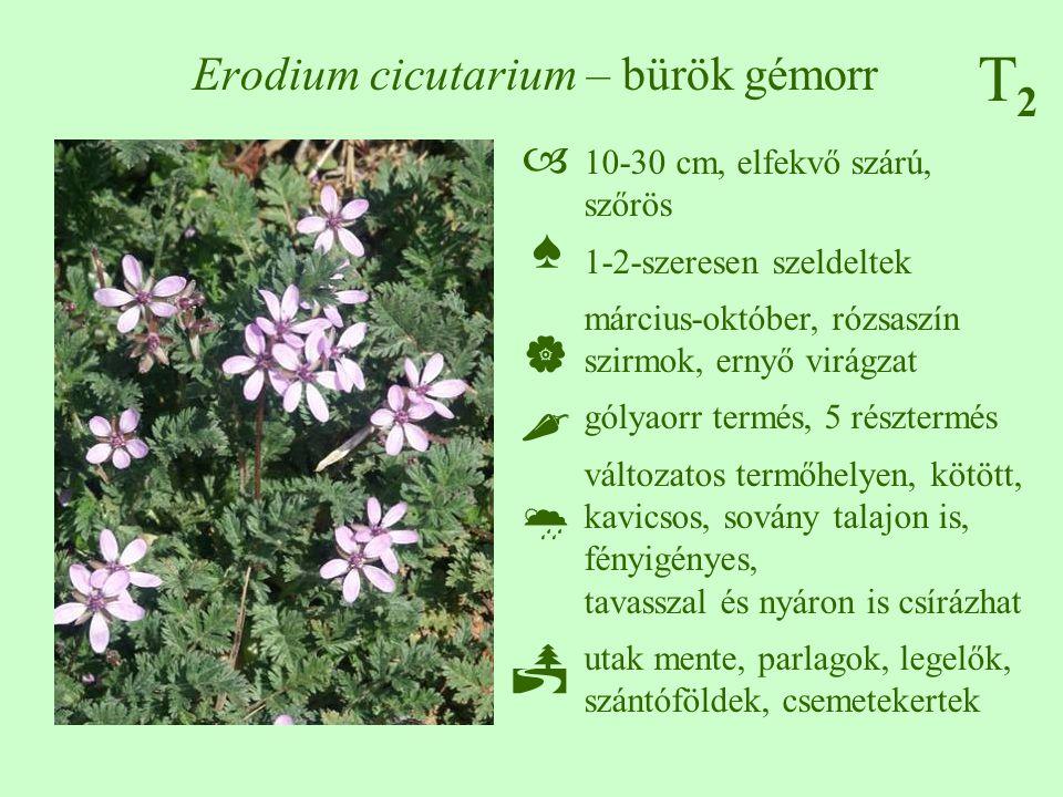 T2T2 Erodium cicutarium – bürök gémorr 10-30 cm, elfekvő szárú, szőrös 1-2-szeresen szeldeltek március-október, rózsaszín szirmok, ernyő virágzat góly
