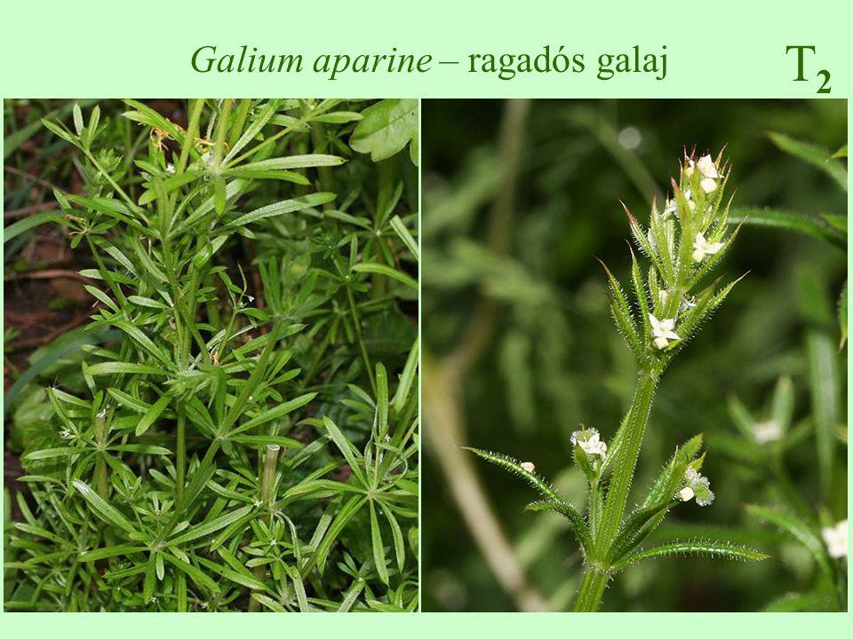 T2T2 Galium aparine – ragadós galaj