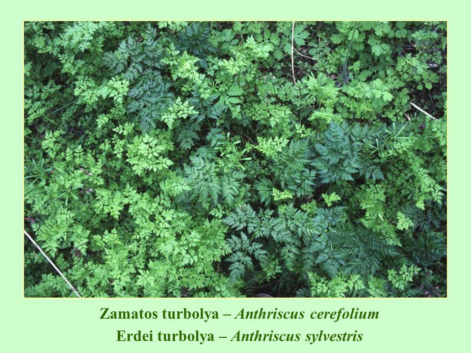 T1T1 Veronica hederifolia – borostyánlevelű veronika