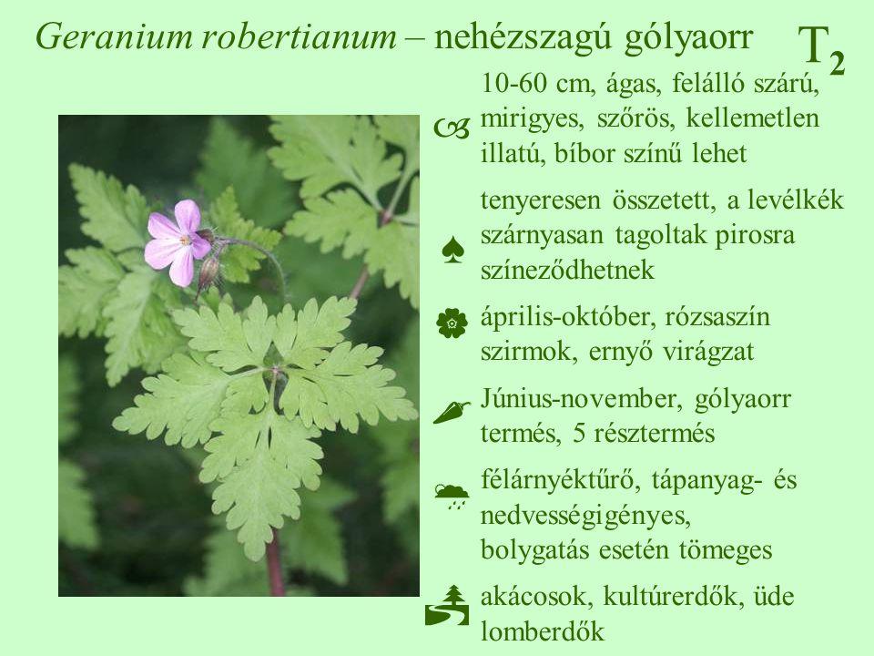 T2T2 Geranium robertianum – nehézszagú gólyaorr 10-60 cm, ágas, felálló szárú, mirigyes, szőrös, kellemetlen illatú, bíbor színű lehet tenyeresen össz