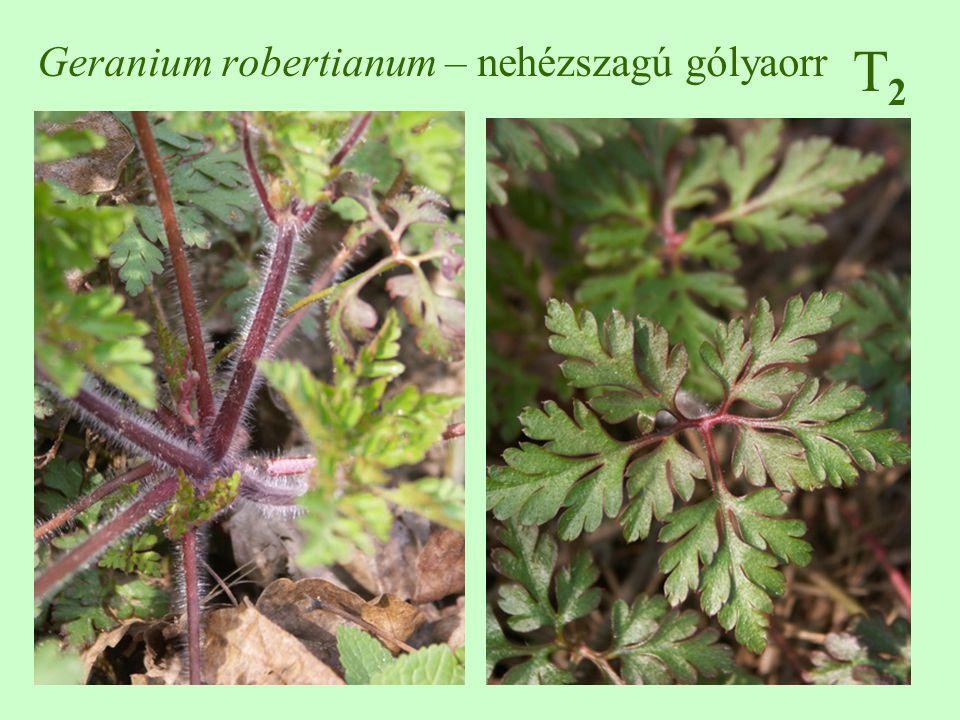 T2T2 Geranium robertianum – nehézszagú gólyaorr