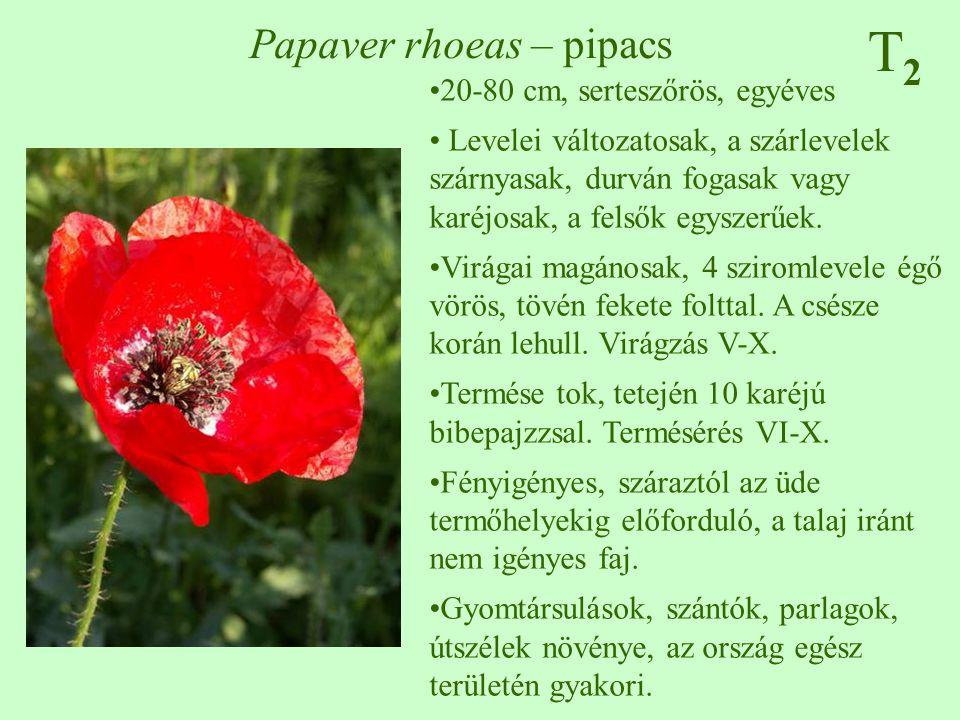 T2T2 Papaver rhoeas – pipacs 20-80 cm, serteszőrös, egyéves Levelei változatosak, a szárlevelek szárnyasak, durván fogasak vagy karéjosak, a felsők eg