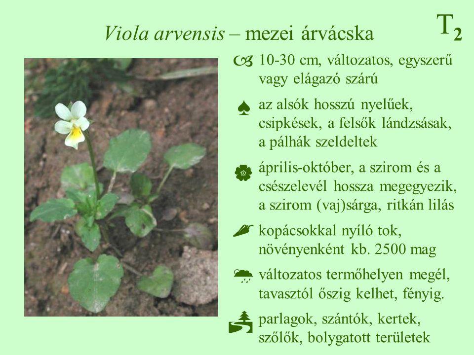T2T2 Viola arvensis – mezei árvácska 10-30 cm, változatos, egyszerű vagy elágazó szárú az alsók hosszú nyelűek, csipkések, a felsők lándzsásak, a pálh