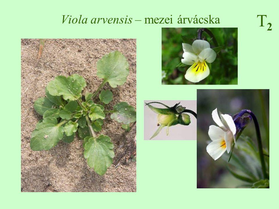 T2T2 Viola arvensis – mezei árvácska