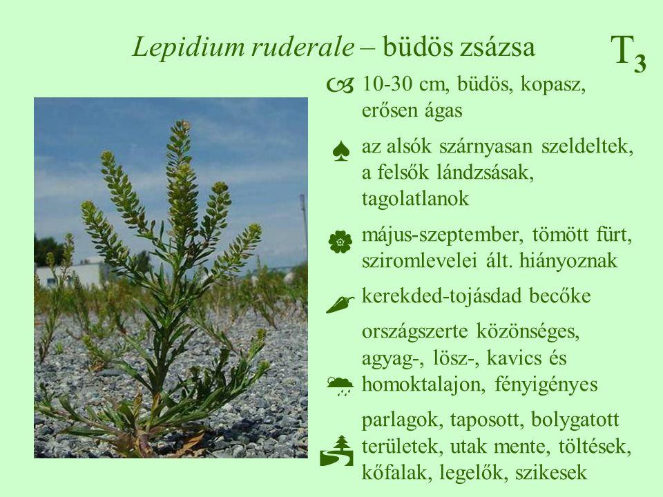 T3T3 Lepidium ruderale – büdös zsázsa 10-30 cm, büdös, kopasz, erősen ágas az alsók szárnyasan szeldeltek, a felsők lándzsásak, tagolatlanok május-sze