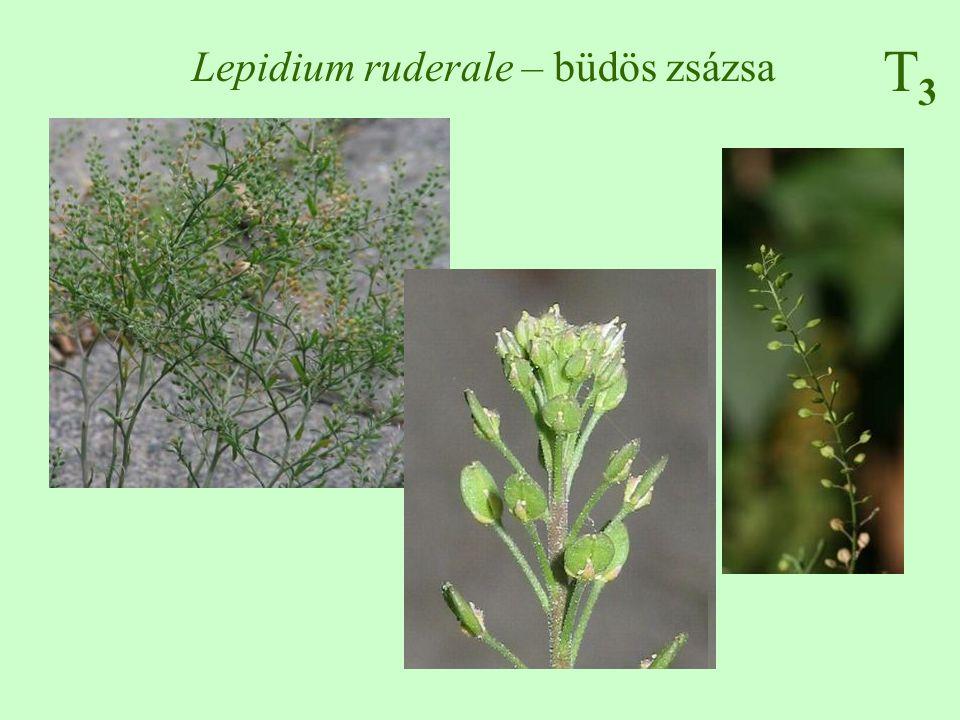 T3T3 Lepidium ruderale – büdös zsázsa