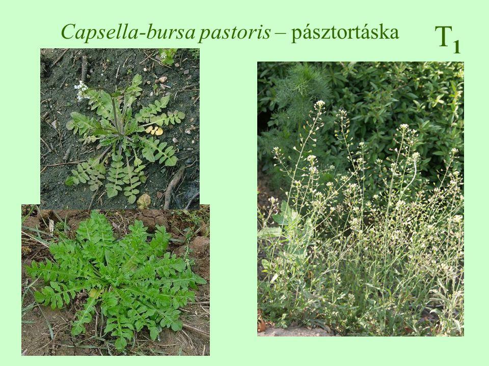 T1T1 Capsella-bursa pastoris – pásztortáska
