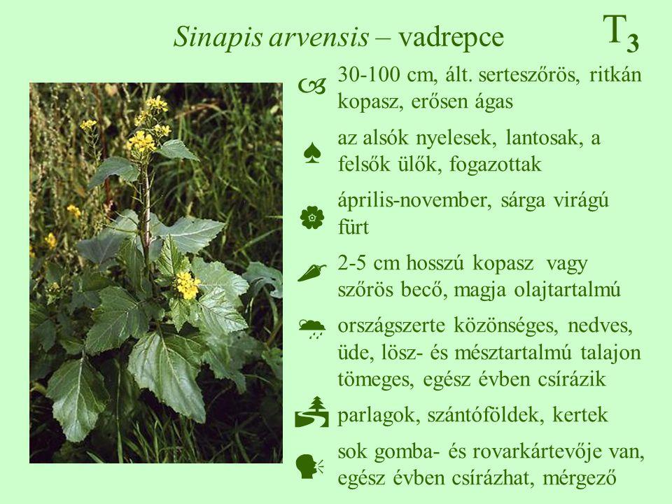 T3T3 Sinapis arvensis – vadrepce 30-100 cm, ált. serteszőrös, ritkán kopasz, erősen ágas az alsók nyelesek, lantosak, a felsők ülők, fogazottak áprili