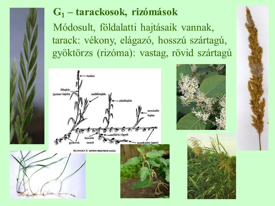 G 1 – tarackosok, rizómások Módosult, földalatti hajtásaik vannak, tarack: vékony, elágazó, hosszú szártagú, gyöktörzs (rizóma): vastag, rövid szártag