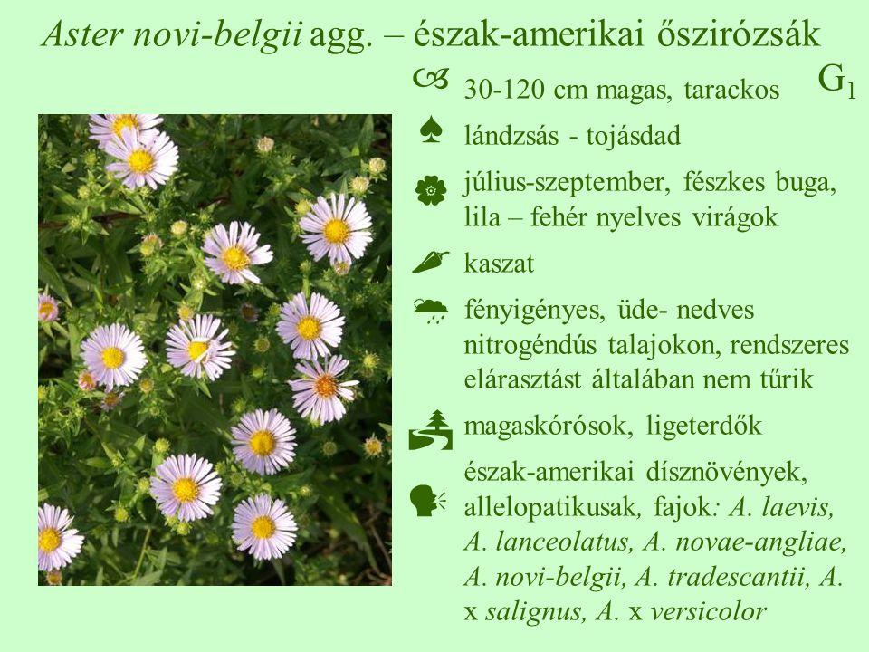 G1G1 Aster novi-belgii agg. – észak-amerikai őszirózsák 30-120 cm magas, tarackos lándzsás - tojásdad július-szeptember, fészkes buga, lila – fehér ny