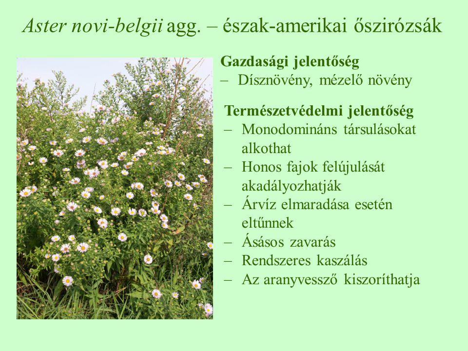 Aster novi-belgii agg. – észak-amerikai őszirózsák Gazdasági jelentőség –Dísznövény, mézelő növény Természetvédelmi jelentőség –Monodomináns társuláso