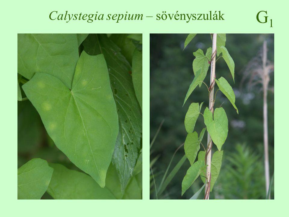 G1G1 Calystegia sepium – sövényszulák