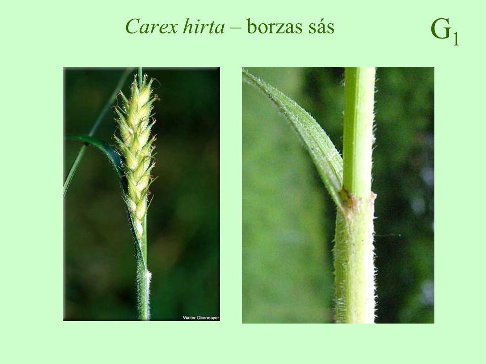 G1G1 Carex hirta – borzas sás