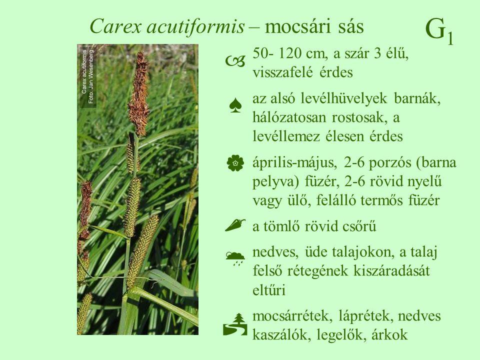 G1G1 Carex acutiformis – mocsári sás 50- 120 cm, a szár 3 élű, visszafelé érdes az alsó levélhüvelyek barnák, hálózatosan rostosak, a levéllemez élese