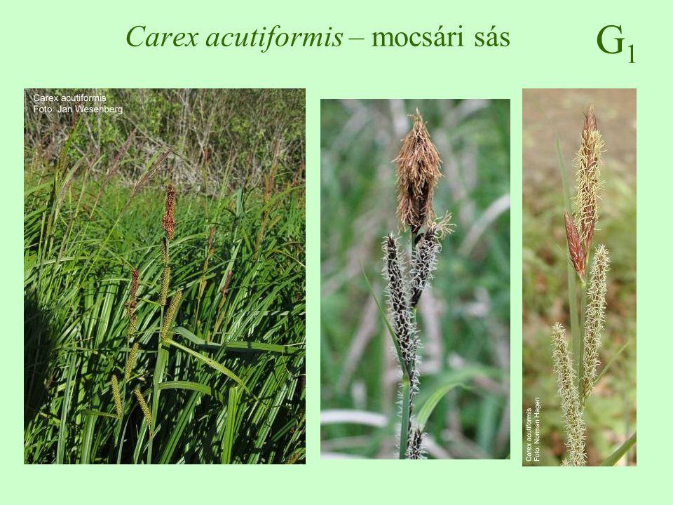 G1G1 Carex acutiformis – mocsári sás
