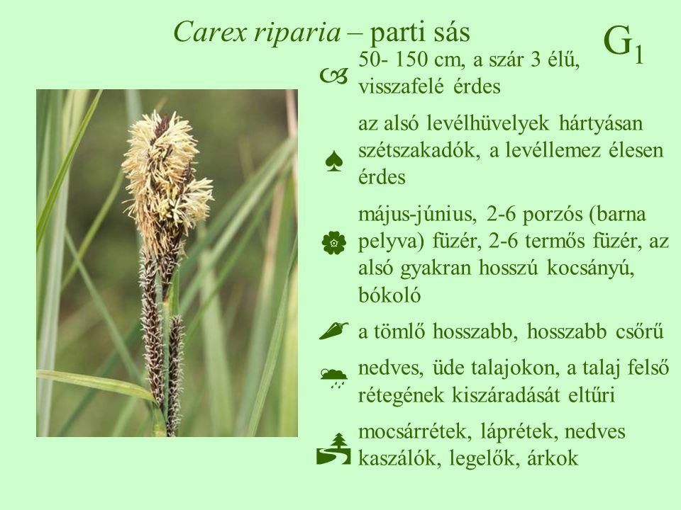 G1G1 Carex riparia – parti sás 50- 150 cm, a szár 3 élű, visszafelé érdes az alsó levélhüvelyek hártyásan szétszakadók, a levéllemez élesen érdes máju