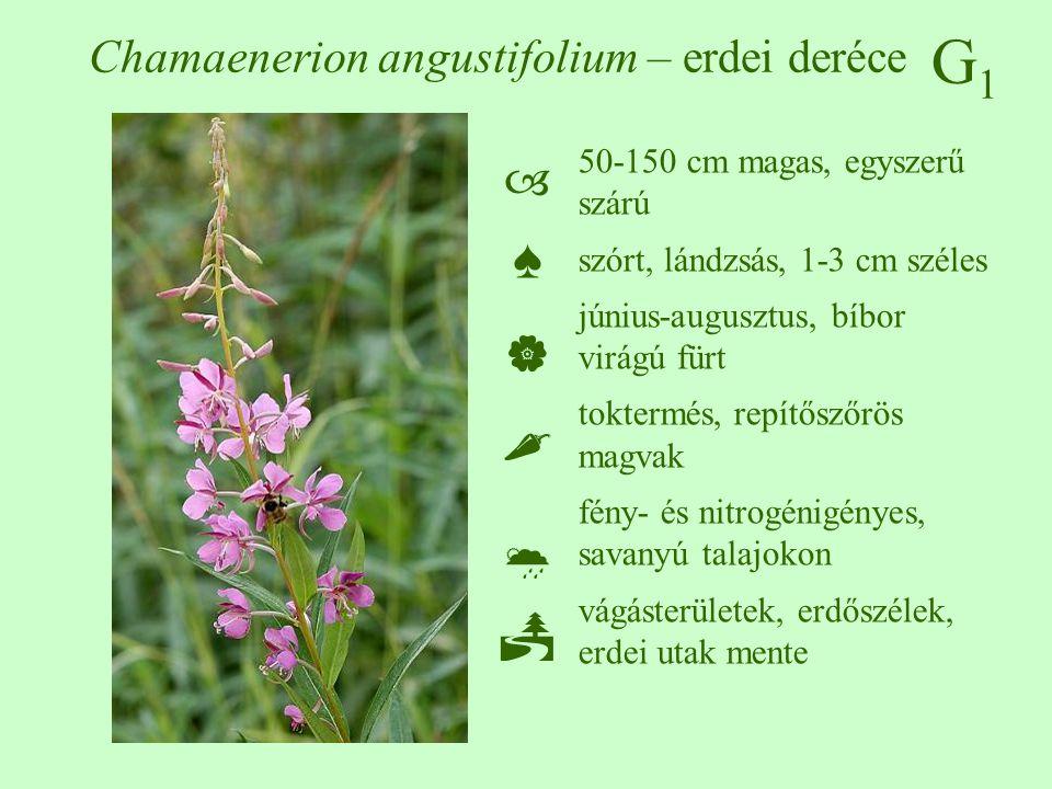 G1G1 Chamaenerion angustifolium – erdei deréce 50-150 cm magas, egyszerű szárú szórt, lándzsás, 1-3 cm széles június-augusztus, bíbor virágú fürt tokt