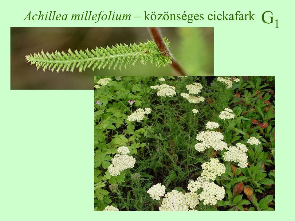 Erdei füzike Epilobium montanum