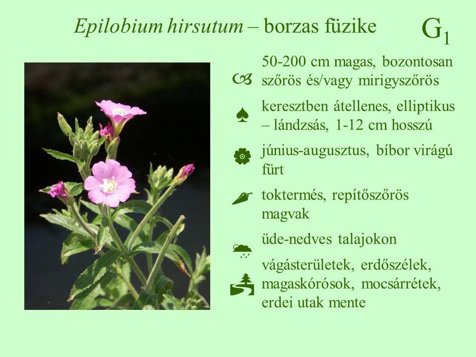 G1G1 Epilobium hirsutum – borzas füzike 50-200 cm magas, bozontosan szőrös és/vagy mirigyszőrös keresztben átellenes, elliptikus – lándzsás, 1-12 cm h