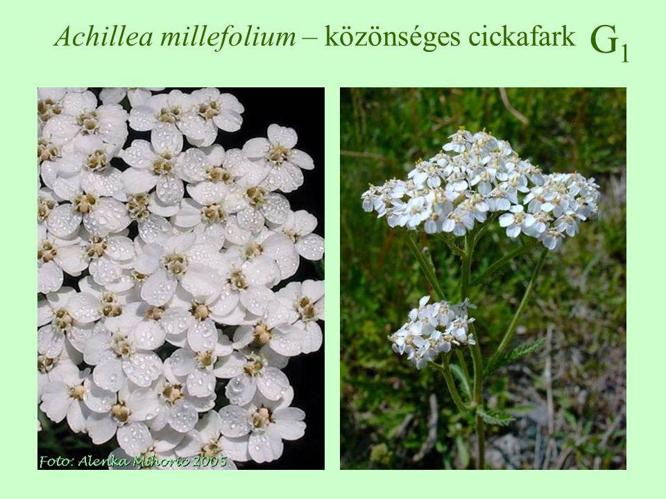G1G1 Equisetum arvense – mezei zsurló 10-30 cm magas, a kora tavasszal megjelenő, fertilis szár redukált barna levelekkel, a sterilis szár áprilisban jelenik meg, 6-20 örvösen elhelyezkedő bordás szárral a levelek redukáltak, hüvelyszerűen összenőttek spórával történő szaporodása nem jelentős üde, nedves talajokon tömeges, de szárazon is előfordul utak mente, parlagok, töltések, vágásterülten is előfordulhat a tarackok a talajban több emeletet képeznek, mérgező, kovát tartalmaz  ♠ (  )  