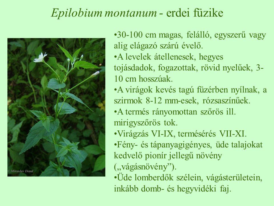 Epilobium montanum - erdei füzike 30-100 cm magas, felálló, egyszerű vagy alig elágazó szárú évelő. A levelek átellenesek, hegyes tojásdadok, fogazott