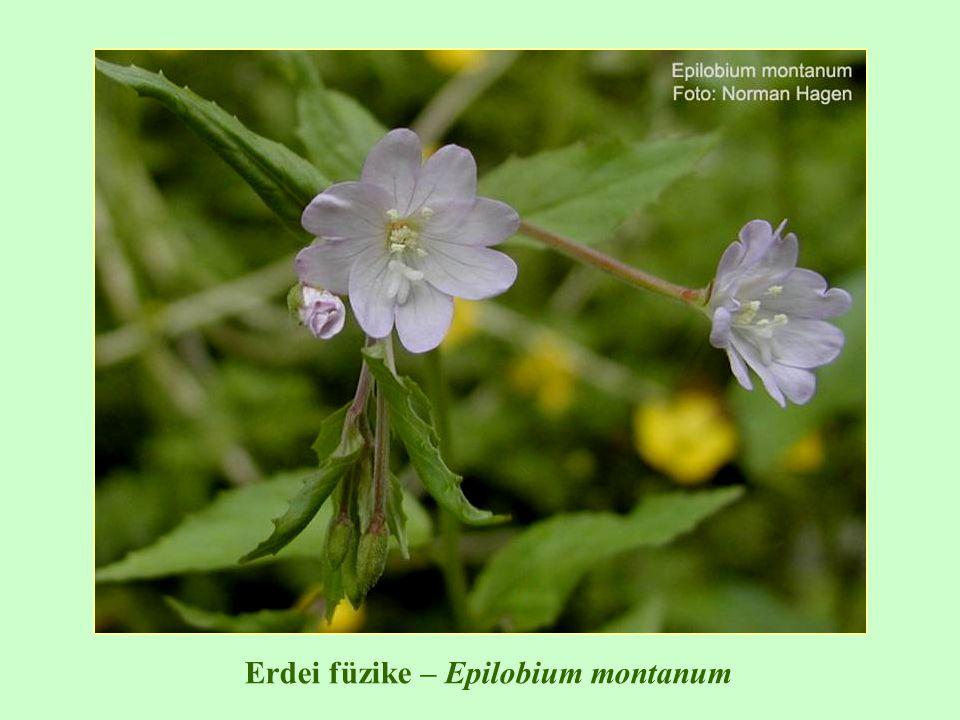 Erdei füzike – Epilobium montanum