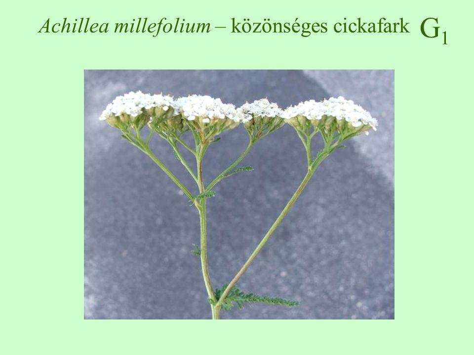 G1G1 Equisetum arvense – mezei zsurló